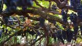 Vineyard Place: Calheta Photo: Turismo da Madeira