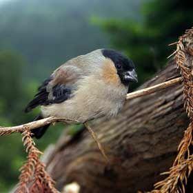 Priolo - Ilha de São MiguelOrt: AçoresFoto: Turismo dos Açores / Veraçor