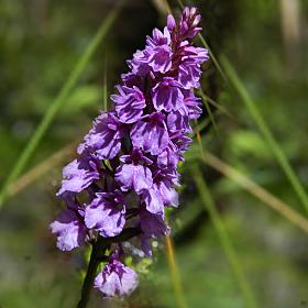 Orchid of the mountain