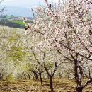 Almond blossom 写真: AT Porto and the North