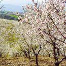 Almond blossom Foto: AT Porto and the North