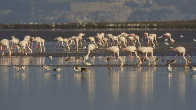 Flamingos_EstuarioTejo_JoãoJara